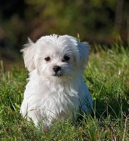 White Puppy sitting in the grass